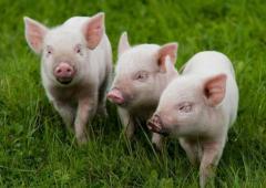 Комбикорма для животных - поросят, свиней