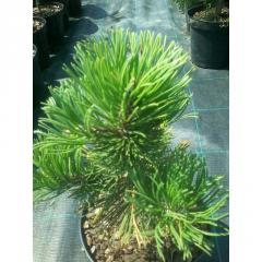 Pinus mugo 'Krauskopf' Сосна