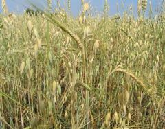 Barley summer