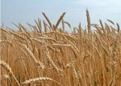 Barley of summer 2 rivers.