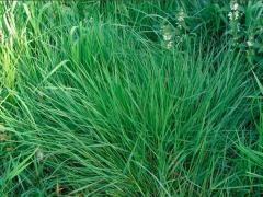 Grass Ryegrass Obry