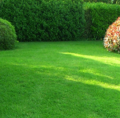 Grass seeds for lawn the Obry Ryegrass