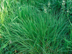 Ryegrass long-term Obry, Ruslana.