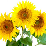Sunflower seed, Sunflower of a sowing campaign, F1