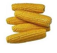 Corn for expor