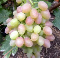Саженцы винограда Кишмиш лучистый