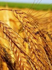 Мука пшеничная второго сорта оптом, цена
