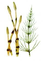 Grass of a horsetail field, the Grass of a