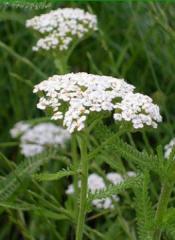 Herbs of a yarrow, yarrow Grass Lviv wholesale,