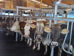 The milking hall (in assortment)