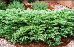 Ornamental plants Yalivets Kazatsky
