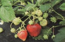 Arosa strawberry