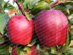 Глостер саженцы яблонь