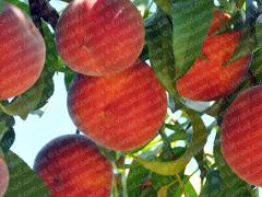 Персик саженцы