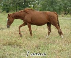 Лошади скаковые Киев