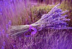 Lavender essential oil of a lavender