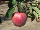 Саженцы яблонь из Полтавы