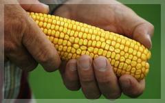 Импортные семена кукурузы, подсолнуха, сахарной