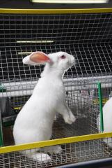 Rabbit meat breeds of HYLA and NYPLUS,