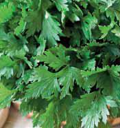 Петрушка листовая Комунне 2  (50гр)