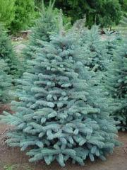 Blue spruce with a lump on landing