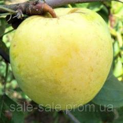 Cаженцы яблони Антоновка
