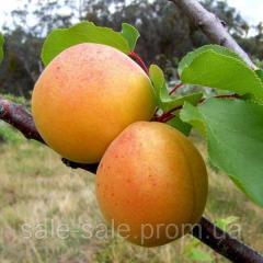 Sadzonki drzew owocowych
