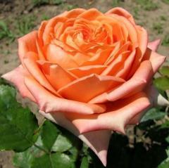 Роза Эльдорадо