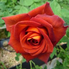 Французская роза Кофе брейк