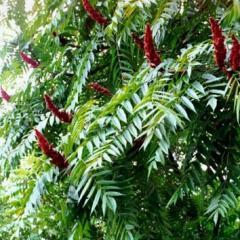 Саджанці декоративних дерев