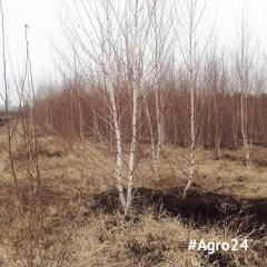 "Birch of ""Ordinary"" 200 - 250 cm."
