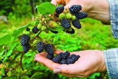 Blackberry saplings. Blackberry bezkolyuchkovy