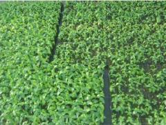 GiSelA 6  Высокоурожайный полукарликовый  подвой, для черешни