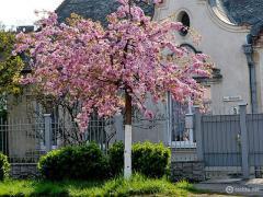Oriental cherry - the Japanese cherry