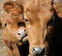 """Starter for calfs of """"Provimi"""