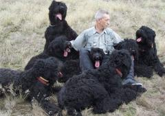 Русские черные терьеры