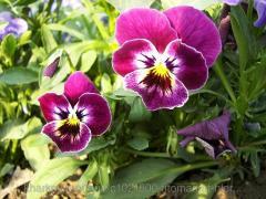Фиалки трехцветной трава 100 грамм (Viola