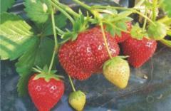"""Strawberry large-fruited """"Fruit jelly"""