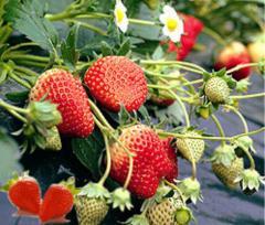 """Strawberry """"Hen"""