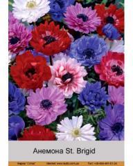 St anemone. Brigid