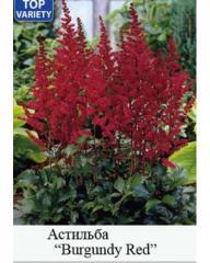 Arends Burgundy Red's Astilba
