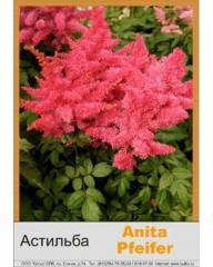 Arends Anita Pfeifer's Astilba