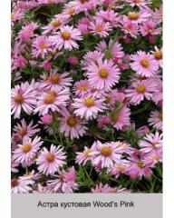 Aster sectional Wood's Pink