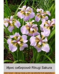 Iris Siberian Rikugi Sakura