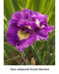 Iris Siberian Double Standard