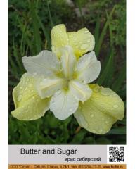 Iris Siberian Butter and Sugar