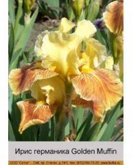 Iris of a germanik of Golden Muffin