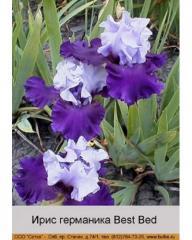 Iris of a germanik of Best Bed