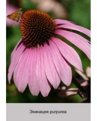 Ekhinatsey purpurea