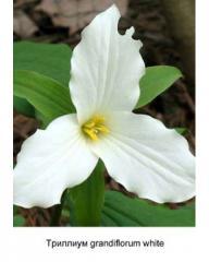 Trillium grandiflorum white